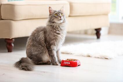 Katze vorm Futternapf