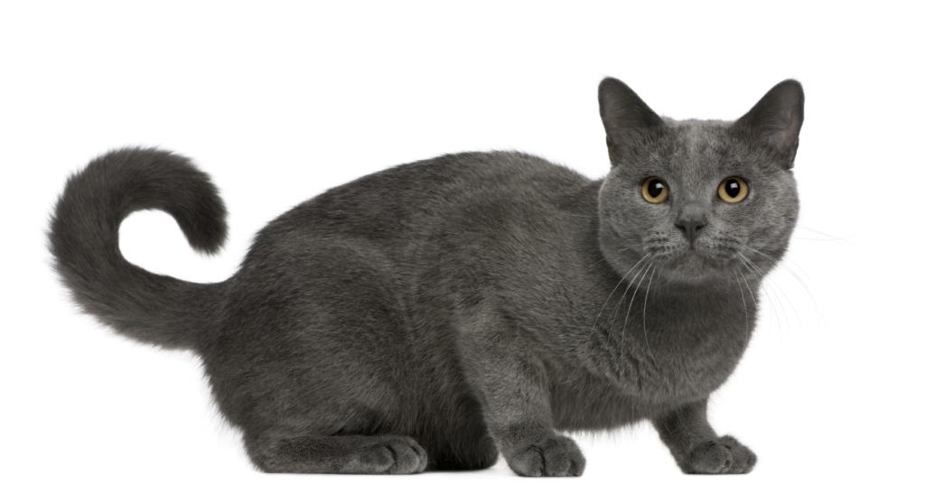 Karthäuser Katze