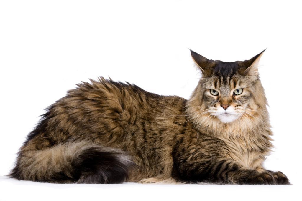 Main Coon Katze im liegen