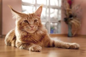 Diät gegen Nierenversagen bei Katzen