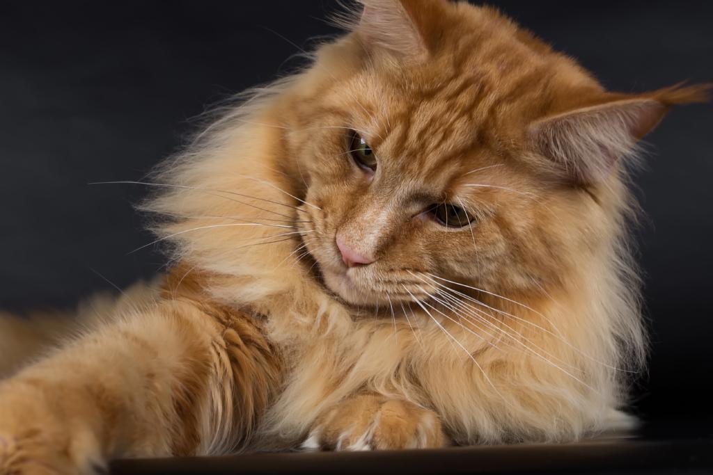 Maine Coon Katze (4)